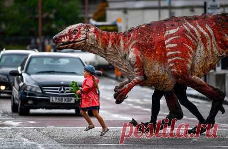 Трехлетняя Фрейя Смит переводит через дорогу одну из гигантских кукол театральной компании Erth в Эдинбурге, Шотландия. Австралийская театральная компания Erth представляет свой бестселлер «Зоопарк динозавров» с гигантскими куклами-динозаврами, которые ходят, рычат и мигают как живые. Во время шоу дети могут сами поучаствовать в представлении: они выходят на арену, гладят и «кормят» динозавров, тренируют их и играют с ними.