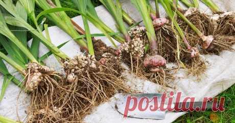 Когда выкапывать и как сохранить луковицы тюльпанов, гиацинтов, нарциссов, крокусов Как позаботиться о луковичных после цветения и подготовить посадочный материал к новому сезону?