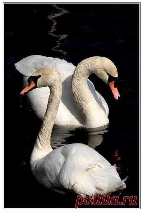 Схема вышивки «Влюблённые лебеди» - Вышивка крестом