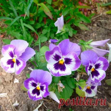 Многолетний садовый цветок Фиалка (Viola). Семейство: фиалковые (Violaceae)  Многолетнее травянистое растение высотой 15-30 см, стебель сильноветвистый. Цветки разнообразных окрасок, иногда душистые. Цветет в апреле - мае и в августе - сентябре, некоторые виды цветут с апреля по октябрь.  Основные виды Ф.душистая (V.odorata) - многолетник высотой до 15 см, листья прикорневые сердцевидные, по краю городчатые, цветки лиловые, розовые, белые, диаметром 1,5-3 см, с приятным ароматом.