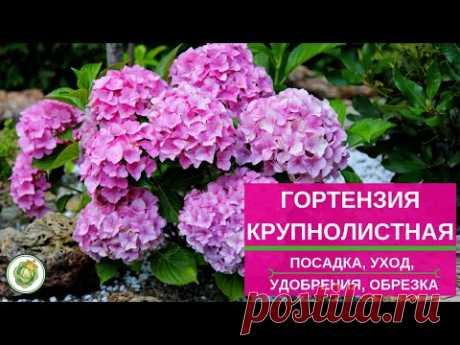 Гортензия крупнолистная - как добиться пышного цветения//посадка, уход, удобрения, обрезка