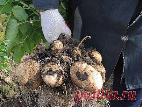 Выращивание картофеля в домашних условиях   Делаем сами