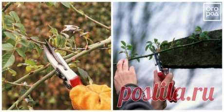 Размножение роз черенками осенью: подробная инструкция для начинающих | Розы (Огород.ru)