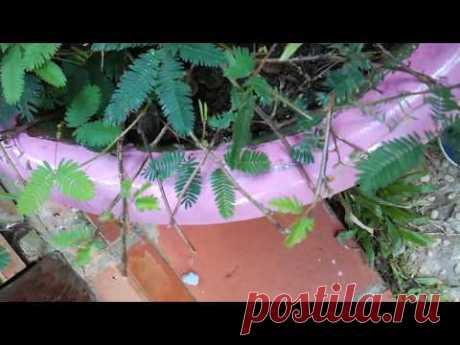 ❀ Мимоза стыдливая (Mimosa pudica). Выращивание в домашних условиях. Полезные свойства.