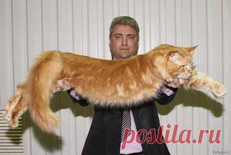 самые большие кошки: 703 тыс изображений найдено в Яндекс.Картинках