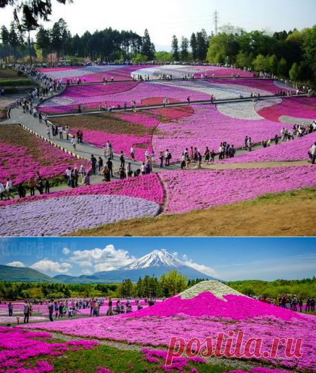 Япония:Цветущие флоксы в парке Хицужияма!