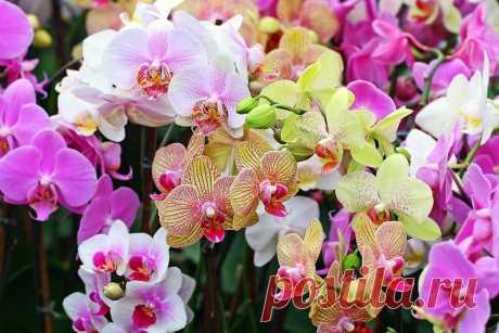Орхидея: правильный уход Орхидея: правильный уход. Выбор подходящего грунта, освещения и уровня влажности, правила полива и удобрения.