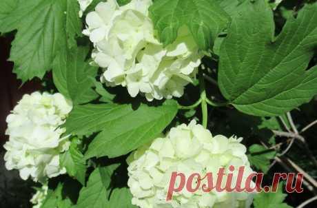 Калина Бульденеж: почему, прежде чем посадить эту красоту, стоит подумать, рассказываю   Дача ягодки цветочки   Яндекс Дзен