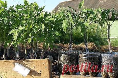 De la fertilización de las plantas del tomate
