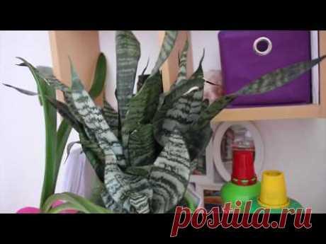 ПОЧЕМУ  СЕНСИВИЕРИЯ НЕ ЦВЕТЁТ? 🌾 КАК ЗАСТАВИТЬ ЦВЕСТИ СЕНСИВИЕРИЮ #100 #oldenburgru - YouTube