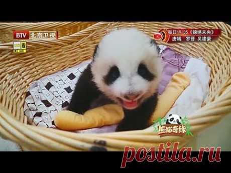 刚出生的熊猫崽,太萌了,网友:汤圆掉地上了,芝麻馅露出来了【熊猫奇缘】