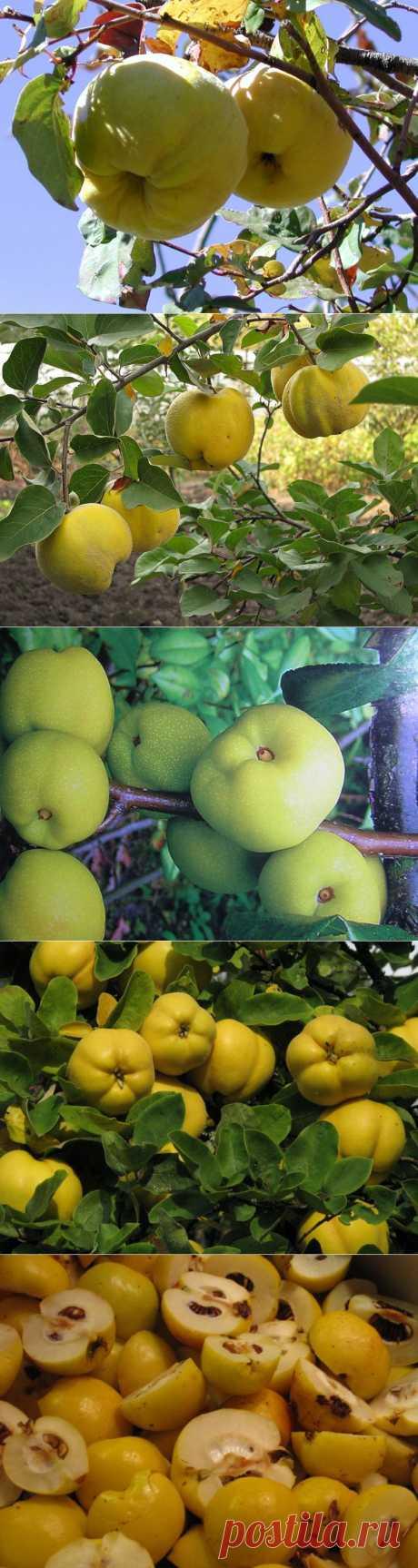 """Айва - """"благородное яблоко"""". Посадка,уход, сорта. Айва – это невысокое деревце, вырастающее в высоту до 3,5 м и живущее в среднем до 60 лет. Цветет оно обычно в мае-июне. Очень любит свет и влагу, но в тоже время отлично переносит засуху и наводнения. Корни растения в земле лежат неглубоко, айва хорошо приживается на почвах с неглубоким залеганием грунтовых вод. Высаживать айву нужно на ровном участке или на пологих склонах. Лучшим местом будет южная и открытая часть дачного участка."""
