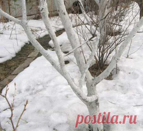 Как правильно белить деревья на даче? — 6 соток