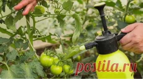 """""""Помидоры уже зацвели"""": Вводим подкормку, чтобы томаты стали Крупными, сочными и сладкими"""