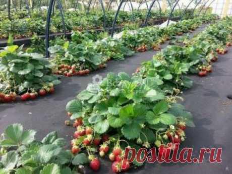 Уход за клубникой весной на даче на открытом участке: важен хороший уход за клубникой для увеличения урожая
