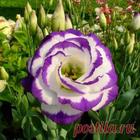 Эустома многолетняя – целый букет из одного растения — FloweryVale.ru