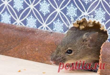 Какой утеплитель никогда не погрызут мыши Когда ведутся строительные работы загородного дома, то в таком случае очень сложно обойтись без утеплительного материала. Утеплитель используют для стен