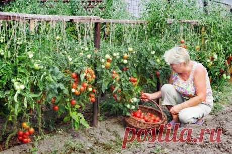 Экономный способ выращивания рассады томатов: из 1 семечка до 10 растений!!! | 6 соток