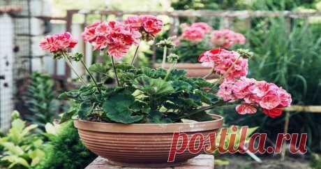 Чтобы герань красиво цвела: полезные советы