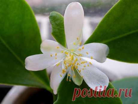 Переския — цветущий лиственный кактус. Уход в домашних условиях. Фото — Ботаничка.ru