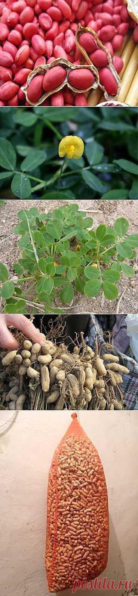 Выращивание арахиса на огороде - посадка, уход, уборка