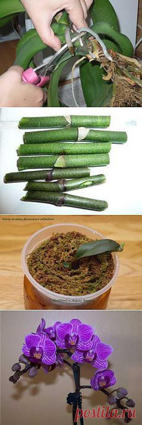Как размножать орхидею фаленопсис..