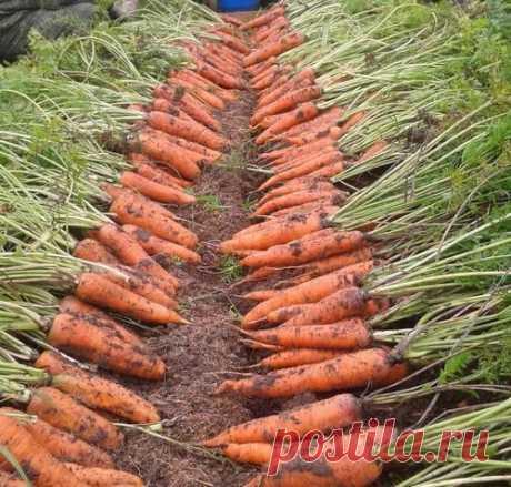 Интересные новости    Сеем морковь с кофе