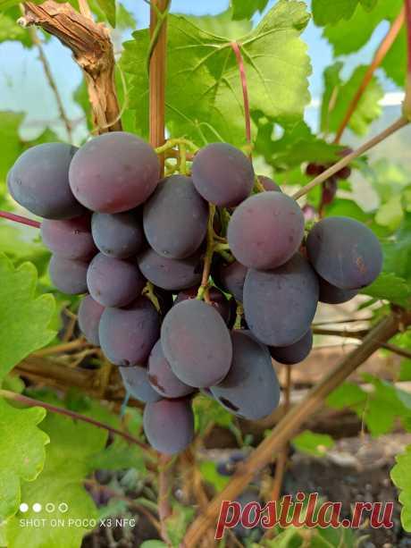 Вызревание виноградной лозы – пришло время помочь ей для успешной зимовки | Самарский виноград | Яндекс Дзен
