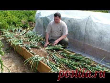 ▶ Выращивание лука репки без лишних хлопот - YouTube