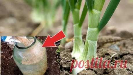 Подкормите этим лук в мае июне и увидите каким огромным он вырастет! Чем подкормить лук?