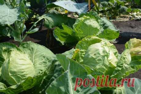 Secrets of healthy cabbage \u000a\u000aIt appears, to receive a good harvest of cabbage not and it is difficult if it is correct to look after seedling – from seedling all and begins! The reader offers several councils how to get rid of wreckers and to grow up a good harvest. \u000a\u000aI grow up seedling itself, I land in a full moon. In holes I fill up humus and I add 1 tablespoon of an egg shell (the more small, the better), 1 tablespoon of ashes, 1 h l. superphosphate and 1 h l. mustard powder. \u000a\u000aIt as r...