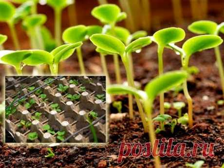 Как посадить рассаду в упаковку из под яиц (перцев, томатов, бархатцев и пр.) - YouTube