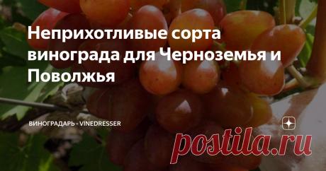 Неприхотливые сорта винограда для Черноземья и Поволжья Обзор неприхотливых в уходе сортов винограда для условий Черноземья и северного Поволжья