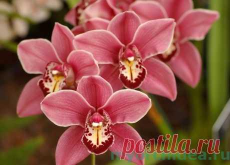 Красная орхидея – утонченная деталь домашнего интерьера Всем любителям комнатных растений, желающим создать в своем доме неповторимый островок тропической экзотики, обязательно нужно обратить внимание на такого представителя растительного мира, как красная…