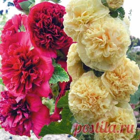 Мальва – выращивание из семян Шток-роза, просвирник так ещё называется в народе мальва. Выращивание из семян этого прекрасного растение не составит особых усилий и затрат.Мальва – растение многолетнее, культивируемое как двулетнее или однолетнее...