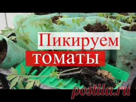 Пикируем томаты в стаканчики.(09.04.16) - YouTube