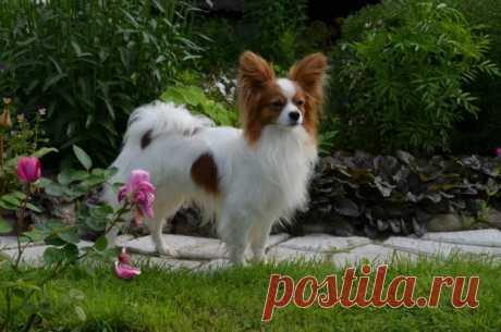 Папильон (собака) - описание, фото, цена, уход и содержание | «Дай Лапу»