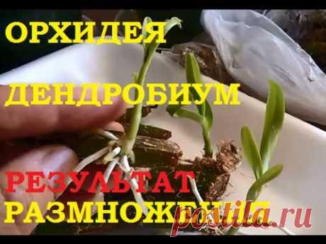Орхидея дендробиум Размножение и полученный результат! Все  получилось!