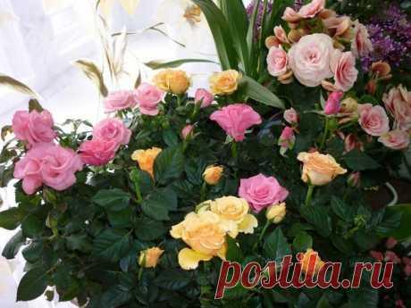 Роза комнатная: что нужно знать начинающему цветоводу? Роза не зря считается королевой всех цветов. Крупные, яркие цветки, плотные листья насыщенного зеленого цвета — ее красота очарует любого. Благодаря работе селекционеров у цветоводов есть возможность ...