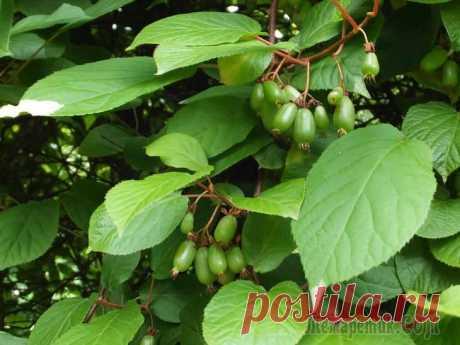 Актинидия коломикта – родственник киви у Вас в саду