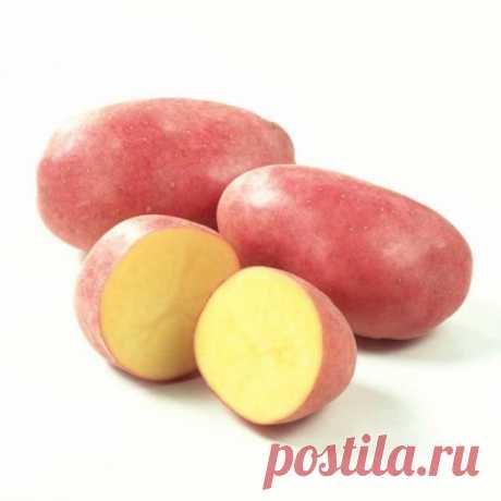Самый вкусный картофель сорт