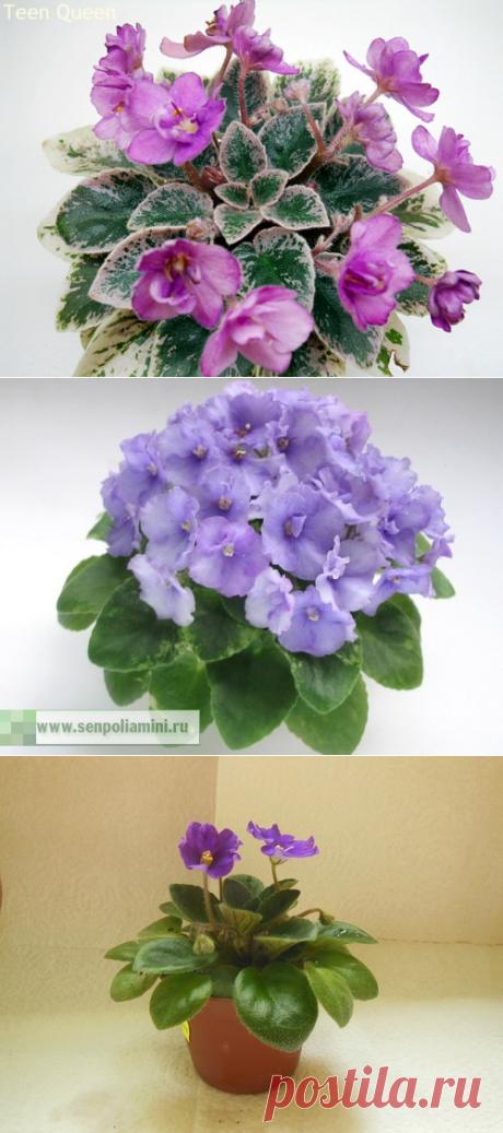 Очаровательные фиалки: от черенка до цветения