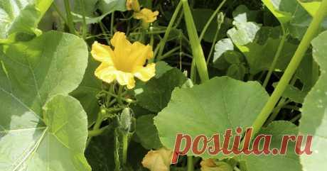 Почему на тыкве не завязываются плоды Тыква цветет, а завязей нет? Мы поможем разобраться, в чем дело.
