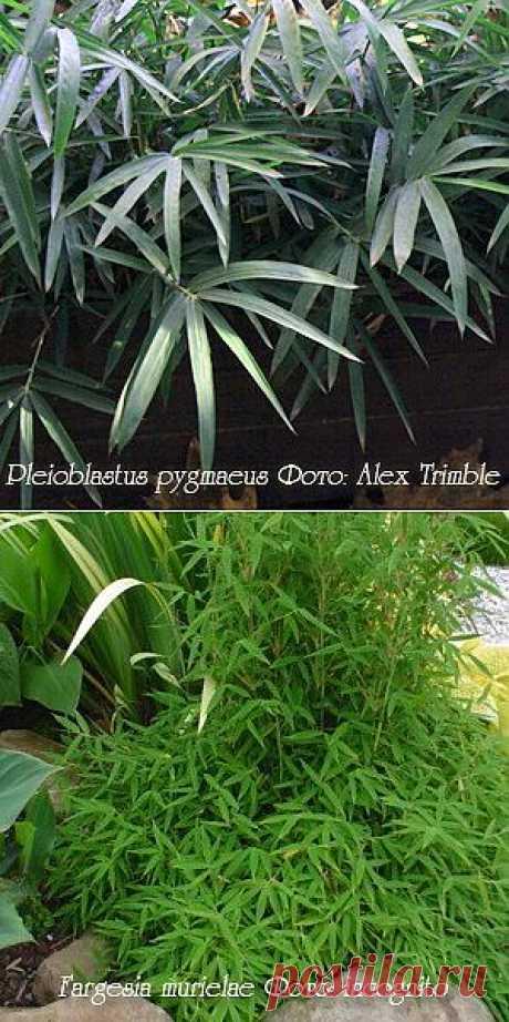 Самым настоящим бамбуком является Род Бамбук Bambusa, насчитывает около 130 видов.