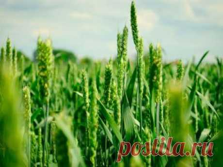 Hlorella suspension for plants: as well as to what it is applied