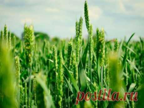 Суспензия хлореллы для растений: как и для чего ее применяют