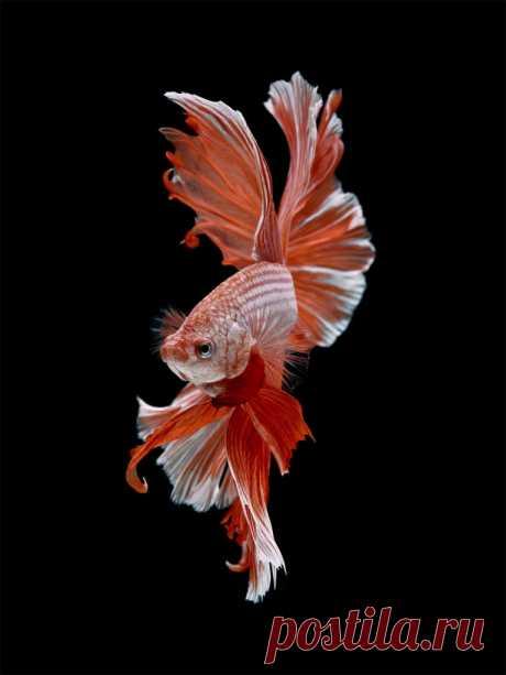 Фотопортреты золотых рыбок Висарута Ангатаваниша (Visarute Angkatavanich) — Фотоискусство