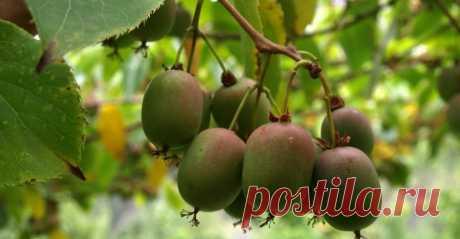 Актинидия: посадка, выращивание и уход - GreenMarket