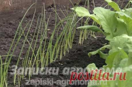 Лук из семян за один год через рассаду на репку • zapiski-agronoma.ru