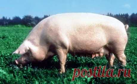 Уржумская свинья - характеристика и отличительные особенности породы